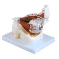 Oko v oční jamce, 3x zvětšené, rozložitelné na 10 částí