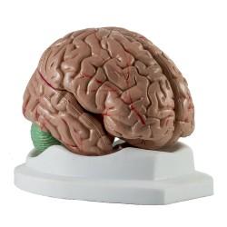 Mozek, model rozložitelný na 4 části