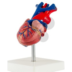 Srdce, model rozložitelný na 2 části, vysoce kvalitní provedení