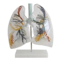 Průhledné plíce, hrtan a průdušnice