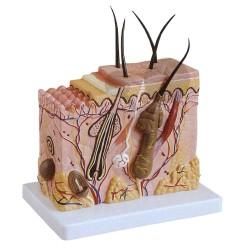 Model řezu kůže, zvětšeno 70x