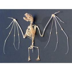 Kostra netopýra se skleněným krytem