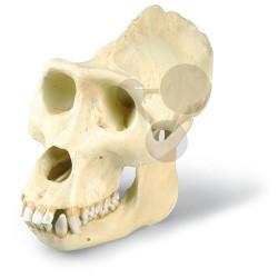 Lebka gorily, přírodní odlitek