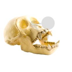 Lebka šimpanze, přírodní odlitek
