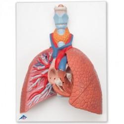 Model plic rozkládací se srdcem a hrtanem Béďa, 5 částí