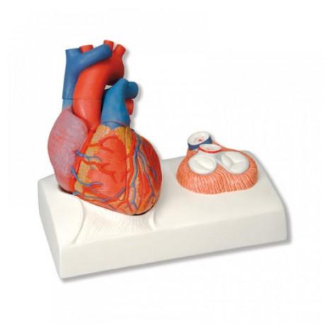 Model srdce ( 5 dílů ) Richard