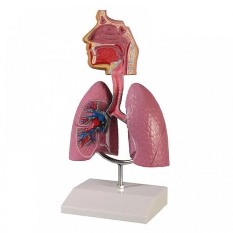 Anatomický model celého dýchacího traktu Pavel