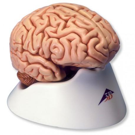 Model mozku (5 dílů) – Lada