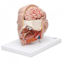 Anatomický model hlavy a mozku (6 částí) KLÁRA