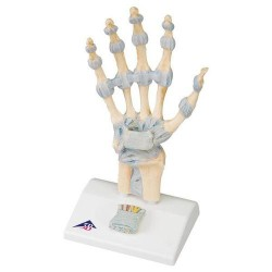Model kostry ruky Leon