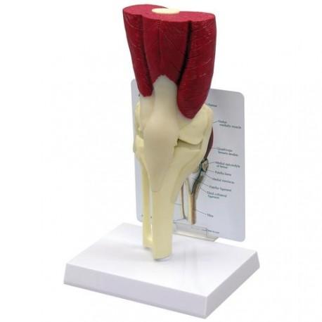 Model kolene s vazy a svaly Allan