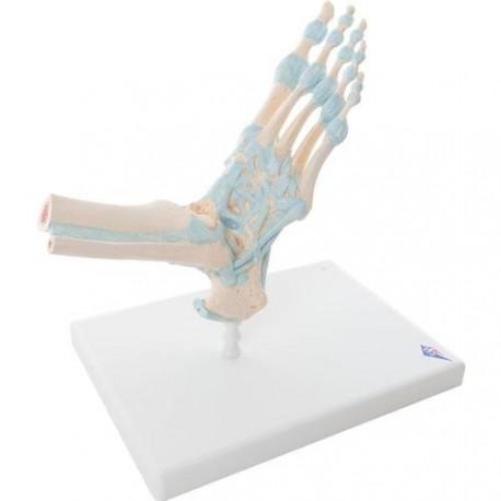 Model kostry chodidla a kotníku s ligamenty Kristýna