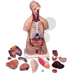 Lidský trup, 16 částí, vysoce kvalitní provedení