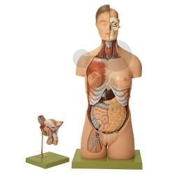 Model části lidského těla s hlavou a výměnnými pohlavními orgány
