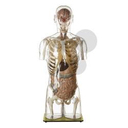 Průhledný model lidského těla s hlavou