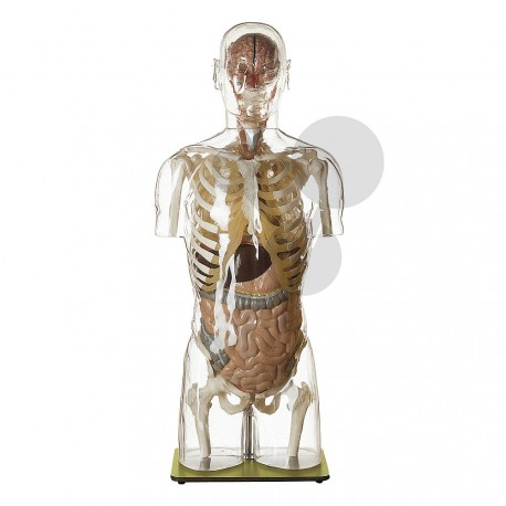 Lidský trup, 24 částí