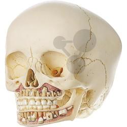 Umělohmotná lebka (cca 6letého) dítěte, SOMSO