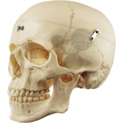 Umělohmotná lebka novorozence