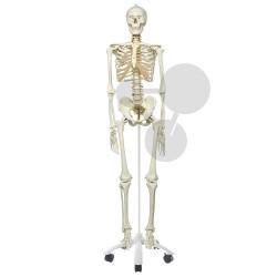 Lidská kostra s pohyblivou páteří, vysoce kvalitní provedení