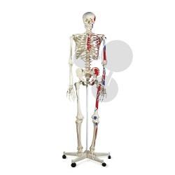 Lidská kostra se svaly, vysoce kvalitní provedení